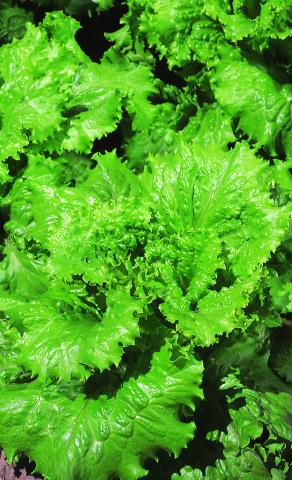 сорта листового салата фото одесский