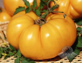 томат оранжевый гигант фото отзывы